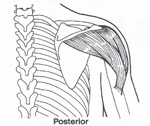 Posterior Muskel