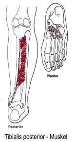 Tibialis-posterior Muskeln